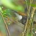Black-bellied wren - Troglodyte à ventre noir - Sotorrey ventrinegro - Pheugopedius fasciatoventris