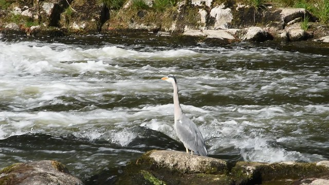 Grey Heron @ Danestone Country Park - Aberdeen Scotland - 17/5/2018