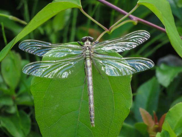 Sympetrum kunckeli. Female