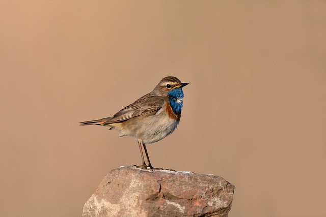 Bluethroat, Canon EOS 5D MARK IV, Canon EF 600mm f/4L IS