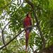 Scarlet Macaw by manuel.schellenberg