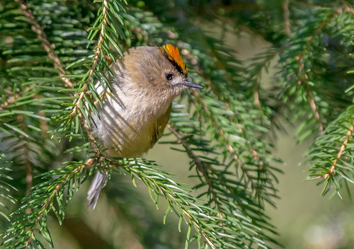 , JWL5642  Goldcrest.., Family Blog 2020, Family Blog 2020