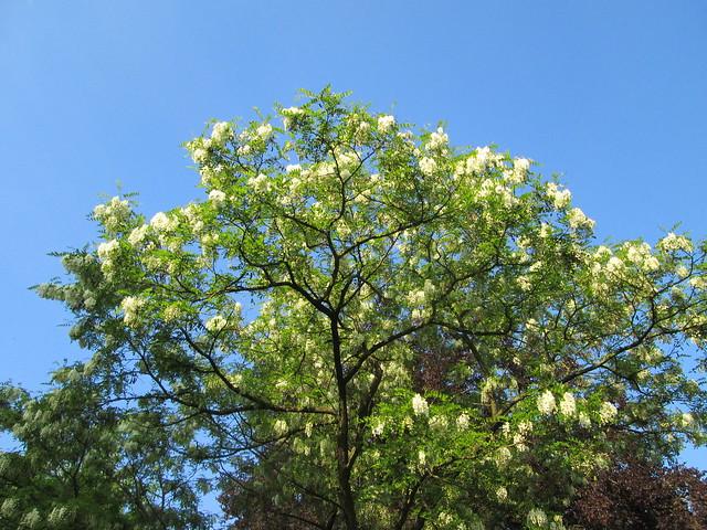 Robinia pseudoacacia, Canon POWERSHOT A1400