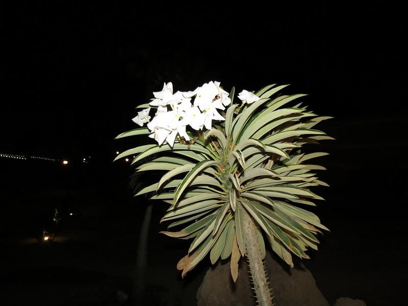 Pachypodium lamereiIMG_2935