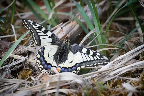 Schwalbenschwanz - Swallowtail - 1