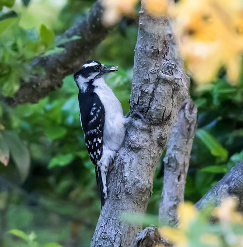 Woodpecker in the yard
