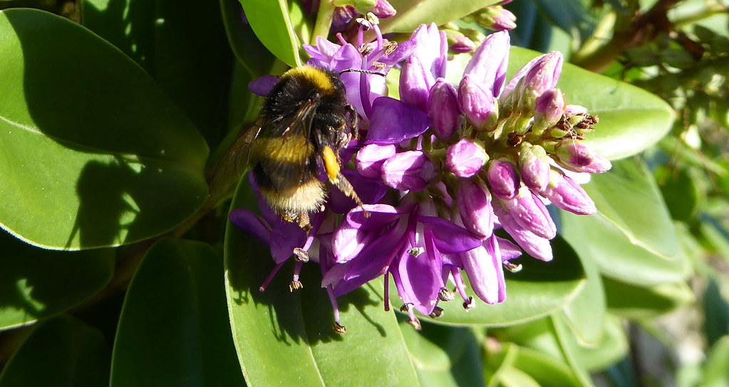 Bumblebee on veronica