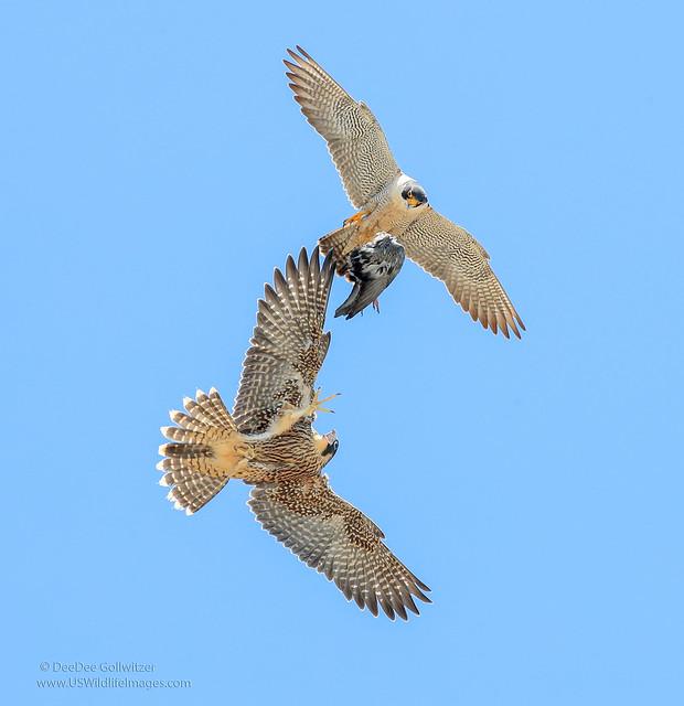 Fledgling Peregine Falcon Food Exchange