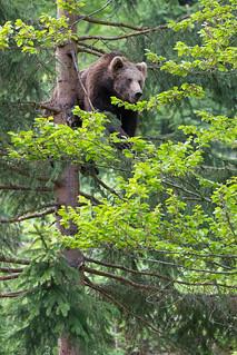 Bear Cub in a Tree pt. II