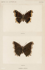 Mourning Cloak (Vanessa Antiopa) from Moths and butterflies of the United States (1900) by Sherman F. Denton (1856-1937). Digitally enhanced from our own publication.