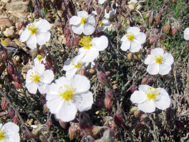 Helianthemum violaceum 41047418875_6bb369b019_o