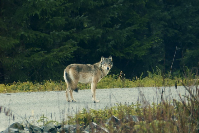 photo of wolf on Prince of Wales Island