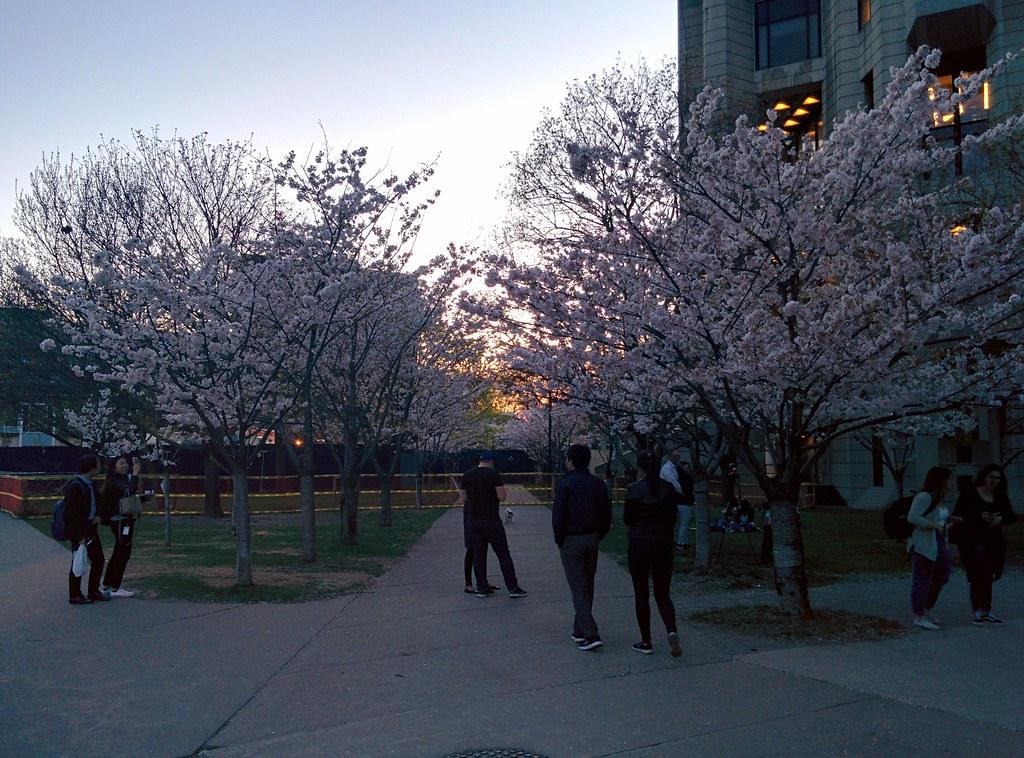 Sakura of Robarts in twilight (6) #toronto #sakura #cherryblossom #universityoftoronto #robartslibrary #harbordstreet #latergram