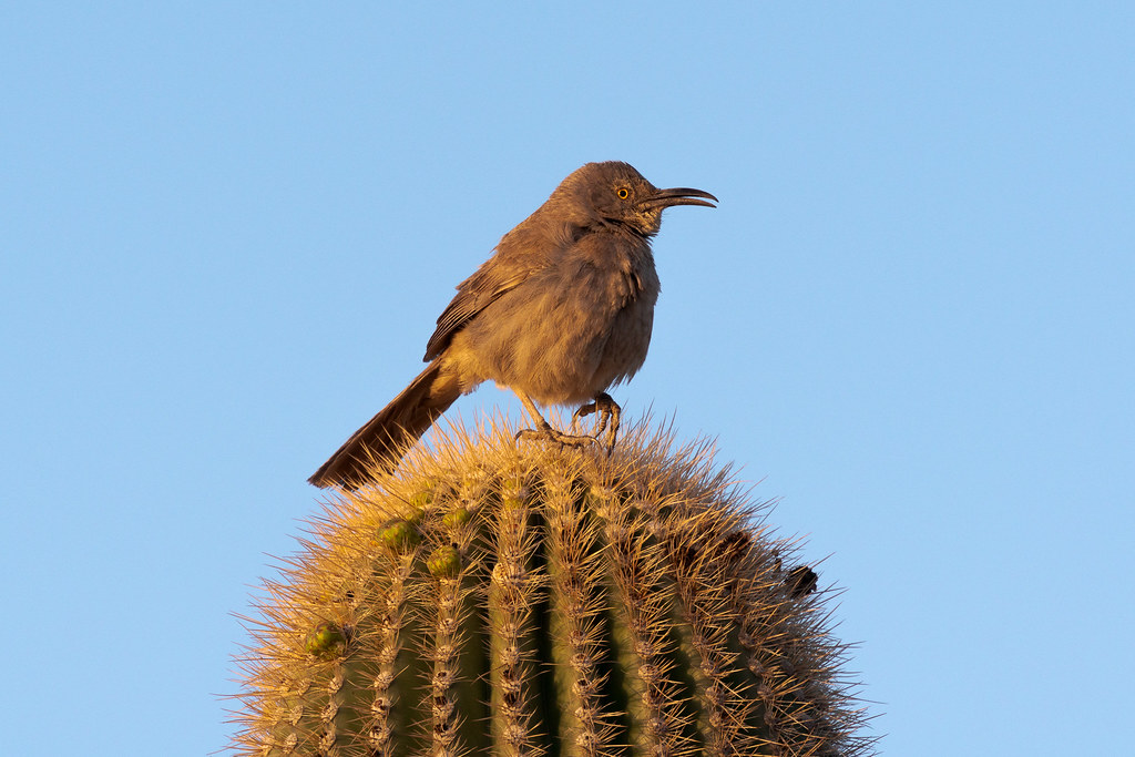 A curve-billed thrasher sings atop a saguaro in the early morning light on the Jane Rau Trail in the McDowell Sonoran Preserve in Scottsdale, Arizona