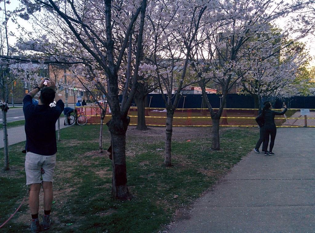 Sakura of Robarts in twilight (9) #toronto #sakura #cherryblossom #universityoftoronto #robartslibrary #harbordstreet #latergram