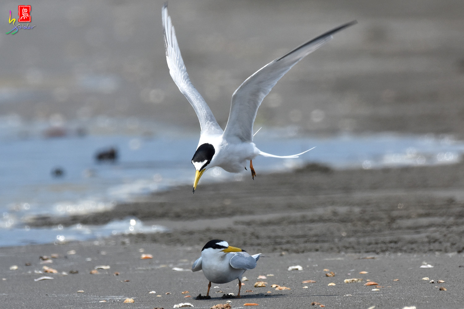 Little_Tern_4887