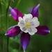 white and purple Aquilegia