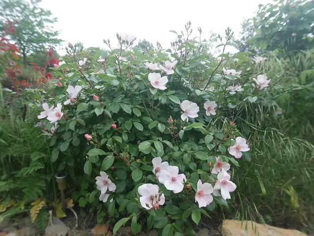 les jardins sont beaux en mai ! - Page 2 41379236004_4a7356a328_z