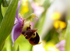 Orchidée bécasse (Ophrys scolopax) - Photo of Roquefort-sur-Garonne