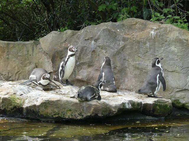 Humboldt-Pinguin, Zoo Berlin