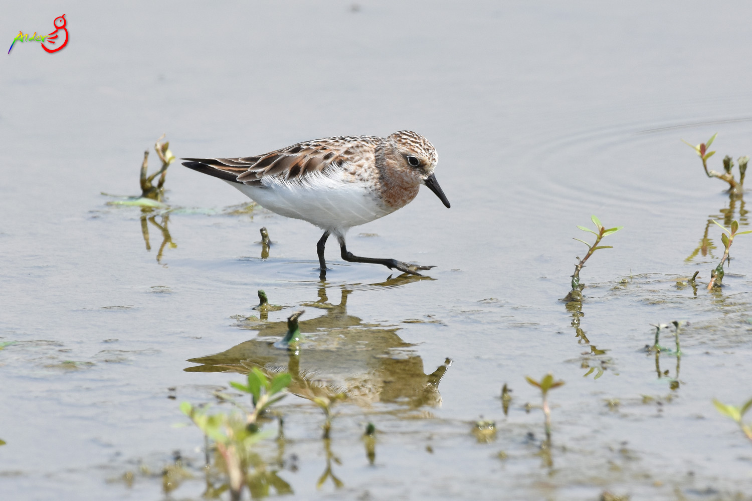 Red-necked_Stint_5716