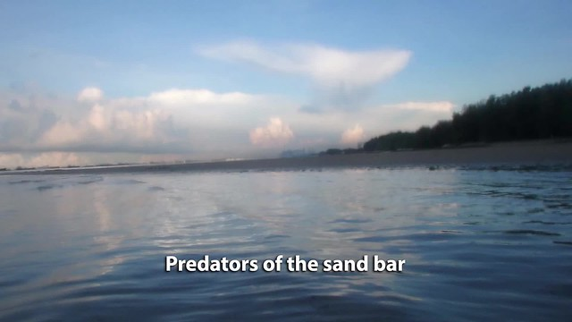 Some predators of the sand bar