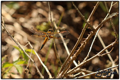 Four-spotted Chaser Dragonfly