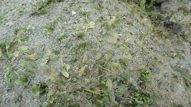 Spoon seagrass (Halophila ovalis) bleaching