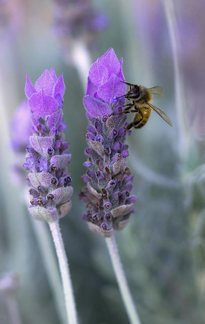 Lavender lover, Canon EOS 600D, Canon EF 100mm f/2.8 Macro USM