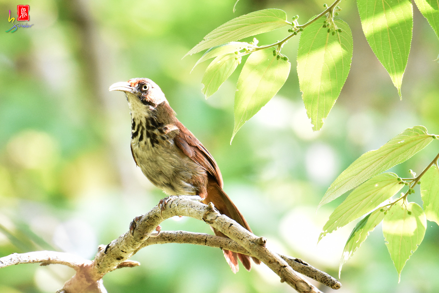 Rusty-cheeked_Scimitar_Babbler_8108