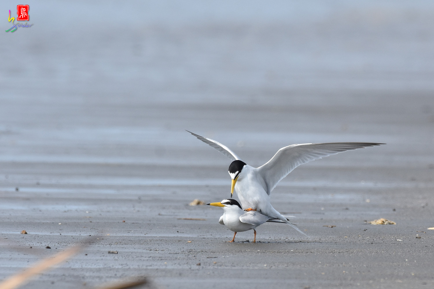 Little_Tern_4410