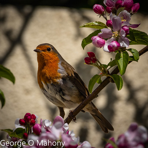 Backgarden Robin