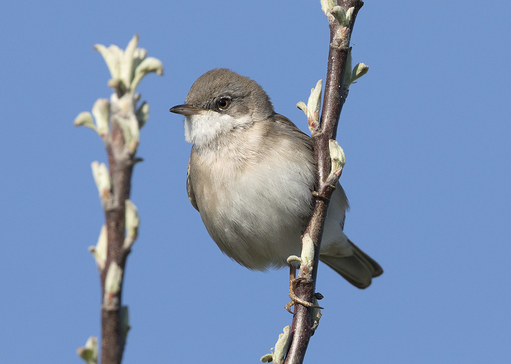 Lesser Whitethroat   Sylvia curruca