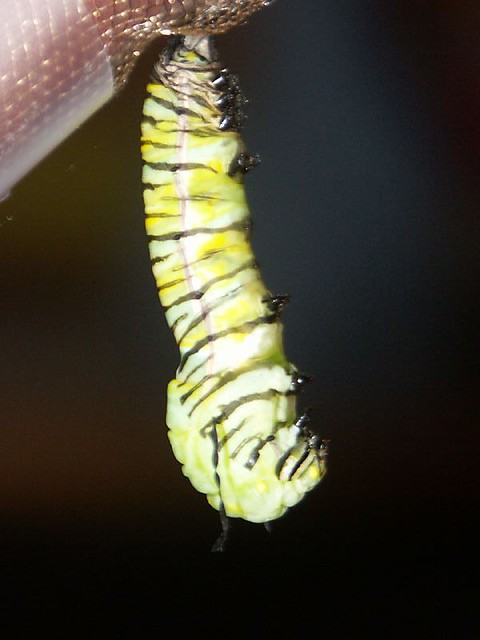 how to catch caterpillar chrysalis