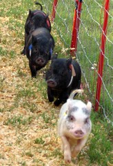 Baby Pot-bellied Pig race