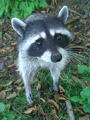 virginia opossum(0.0), grey fox(0.0), kit fox(0.0), viverridae(0.0), animal(1.0), raccoon(1.0), mammal(1.0), fauna(1.0), procyon(1.0), wildlife(1.0),