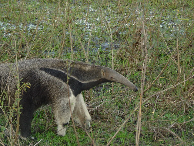 Hairy Ant Eater