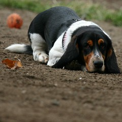 puppy(0.0), american foxhound(0.0), finnish hound(0.0), hamiltonstã¶vare(0.0), beagle(0.0), dog breed(1.0), animal(1.0), basset hound(1.0), hound(1.0), harrier(1.0), dog(1.0), treeing walker coonhound(1.0), pet(1.0), basset artã©sien normand(1.0), estonian hound(1.0), carnivoran(1.0),