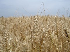 straw(0.0), food(0.0), emmer(1.0), hordeum(1.0), prairie(1.0), agriculture(1.0), triticale(1.0), einkorn wheat(1.0), rye(1.0), food grain(1.0), field(1.0), barley(1.0), wheat(1.0), plant(1.0), crop(1.0),