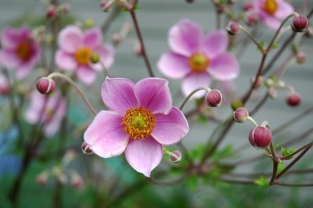 Pink Windflower (Japanese Anemone)