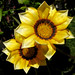 Gazania Golden Couple
