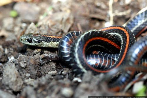 snake, safe in the garden    mg 1349