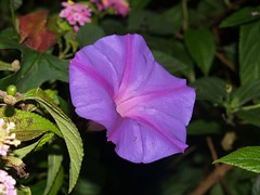 annual plant, ipomoea violacea, flower, purple, plant, macro photography, flora, four o'clocks, petal,