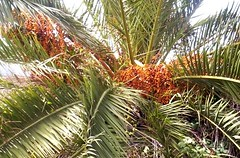 borassus flabellifer(0.0), plant(0.0), produce(0.0), food(0.0), saw palmetto(0.0), date palm(1.0), arecales(1.0), coconut(1.0), tree(1.0), fruit(1.0), elaeis(1.0),