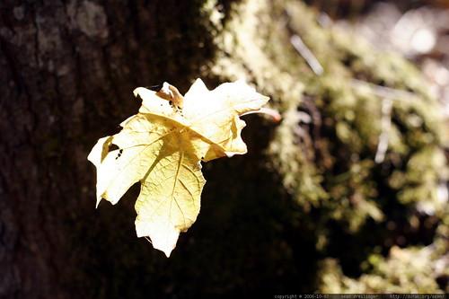 golden leaf    mg 1984