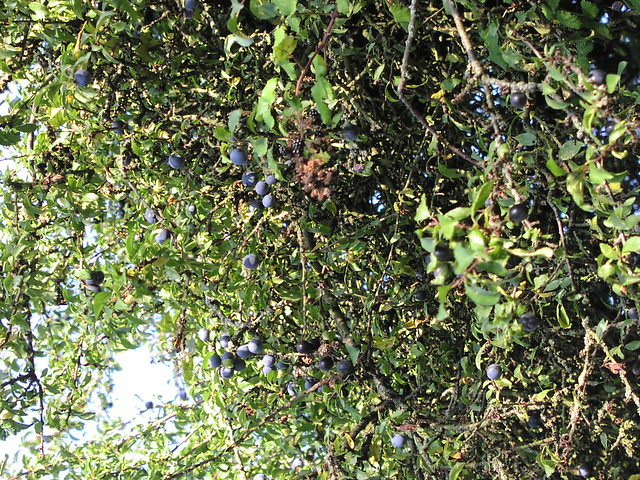 blackthorn tree - photo #45