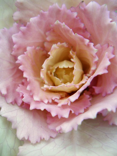 Ornamental kale (pink)