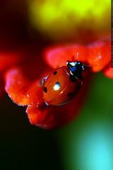 ladybug climbing    MG 2853