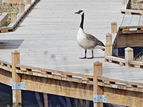 Canada Goose guardian 04-20180423