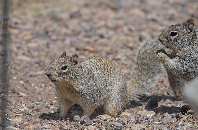 Squirrels-55-7D2-051018